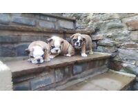 British Bulldog Puppies - ready now!!