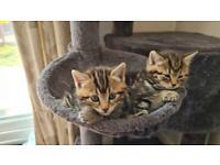 Half Bengal tabby kittens