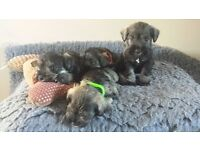 Kc miniature schnauzer pups for sale