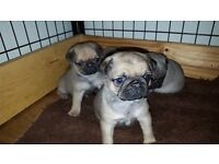 5 FAWN KC REGISTERED PUG PUPS