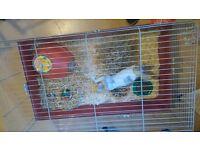 4 month old grey&white rex rabbit&indoor cage