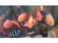 South American Cichlids available from £10 to £50