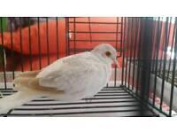 Silver diamond dove