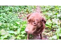 Male Labrador KC Registered Chocolate Brown