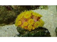 Sun Coral LPS