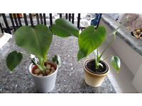 CHEESE PLANT- Medium size (indoor plant)