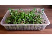 Mother of Thousand Indoor Plant | Leeds