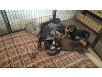 Gorgeous Doberman Blue, Lilac, Choc Brown Puppies Available