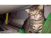 £80 Female Kittens for sale 8weeks old 1 tabby 2 black and white