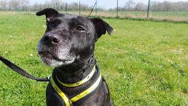 Sweet Staffordshire Bull Terrier