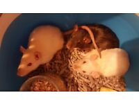 Female Rats for sale!