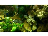 Victoria and Tanganyika cichlids for sale