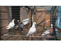 4 Multi Coloured Doves FOC to good home