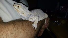 Bearded dragon boy