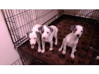 Unregistered Whippet Puppies