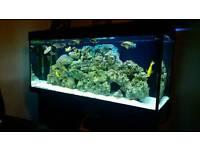 Juwel rio 240 fishtank malawi cichlids