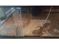 Free Royal Python Snake and Vivarium