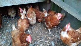 Laying Hens Chickens Warren Lohman Brown