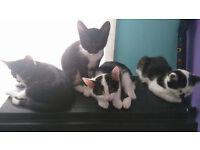 10 week kittens