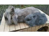 Lionhead grey rabbits only 2 left