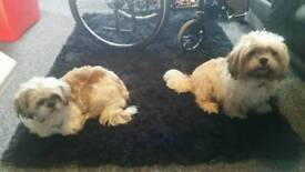Gorgeous litter of shih tzu puppies