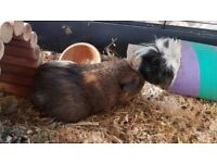 2 female guinea pigs and large indoor cage. Loving fun home wanted as my son has lost interest.