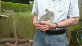 Gorgeous netherland dwarf baby buck rabbits ready now