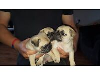 Stunningly beautiful full kc reg pug puppies fawn females looking for 5 star forever homes