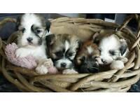 Lhasa apso puppy's