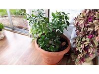 Indoor International Lemon Plant