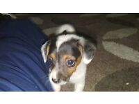 chihuahua x jackrussell pup 2 boy and 2 girls miniatures wormed to date to good homes