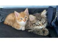 2 Beautiful Kittens Ready For A New Home