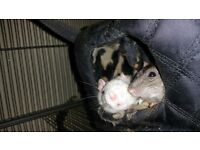 Family of 5 Rats and LITTLE FRIENDS Triple Metal Rat Chinchilla Ferret Cage on Stand