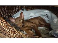 Havana Oriental Female Kitten