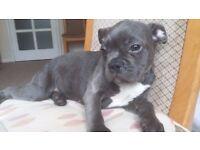 French Bulldog Puppy Blue