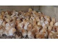 Gingernut Ranger hybrid chicks 100% sexed hens young