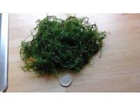 Aquarium Java Moss 50gm