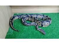 Royal Python ( snake only )