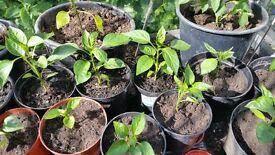 Bell pepper plants from this years sowing. Grow outside, indoors or in a greenhouse.