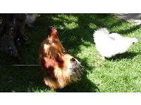 Silkie Cockerel free to a good home. Too hard on my hens.
