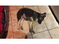 German Shepherd Female 11 week old puppy