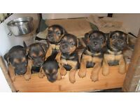 3 Lakeland terrier dog pups for sale