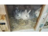 3 Beautiful New Zealand white rabbits ...