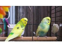 2 budgies with cage and accessories