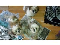 3 Shipoo puppies - All male