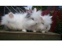 Rabbit, Rabbits, Bunny, Bunnys Stunning BEW Double Mane Lionheads - Ready Now