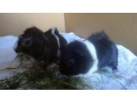 Pair of Male Abyssinian Guinea-Pigs