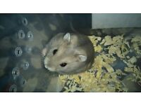 Pure Winter White Hamster pups for sale