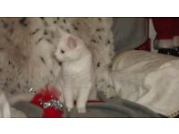 Beautiful x persian kitten