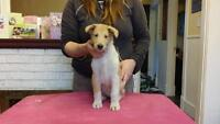 Purebred CKC reg. Smooth Collie fully guaranteed